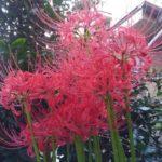 彼岸花が咲きました。縁起が悪いとか偏見だよね?【園芸・庭いじり】