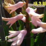 ヒヤシンスの花が咲いた。色はピンク、時期は3月中旬でした!【園芸・庭いじり】