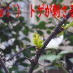 山椒の芽吹きの時期は3月だった。トゲがキツい・・。【園芸・庭いじり】
