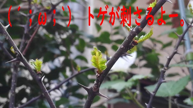 山椒の芽吹きの時期は3月だった。トゲがキツい・・。
