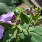 花大根の花が咲きました・・と思ったら、ムラサキハナナ(紫花菜)だった!?【園芸・庭いじり】