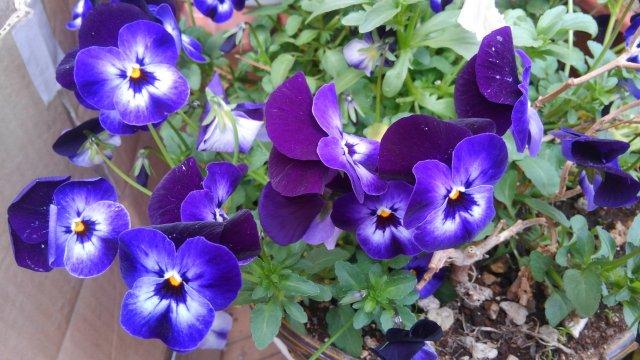 パンジーが咲きました!私は、紫色が一番好きですね。【園芸・庭いじり】