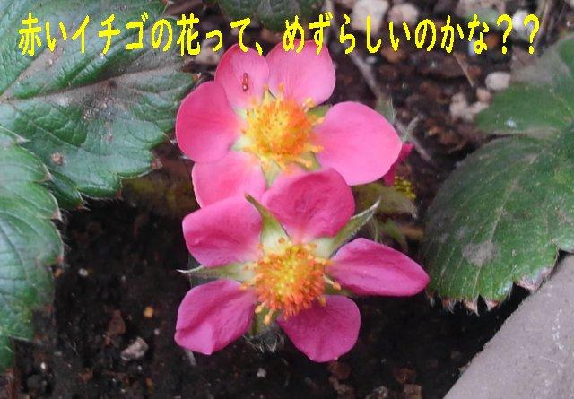 イチゴの花が咲いたが、白じゃなくて赤だった。観賞用の品種か?【園芸・庭いじり】