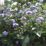 勿忘草(忘れな草・ワスレナグサ)が咲きました!群生してたら相当キレイだろうなコレ。【園芸・庭いじり】