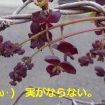 アケビの花が咲きました。(;´・ω・)実がならない。【園芸・庭いじり】