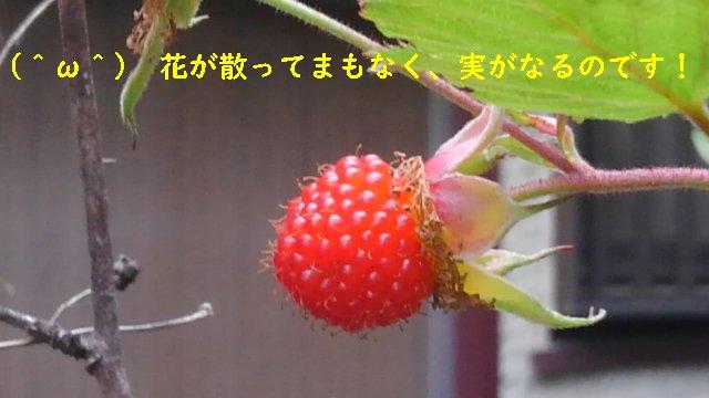 ラズベリー(木苺)の実がなったぞ!ならないと言われてるけど、毎年普通になるんだが?【園芸・庭いじり】
