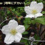 ラズベリーの花が咲きましたぜ。木苺だから、白い花のイメージが無かった。【園芸・庭いじり】
