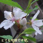 山桜桃梅(ユスラウメ)の花が咲いたぞ。とても美しいな!【園芸・庭いじり】