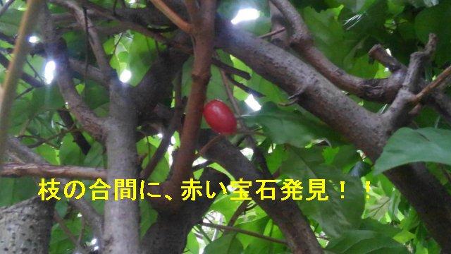5月末、グミの木の実がなったぞ。渋いからあんまりおいしくない?【園芸・庭いじりネタ】