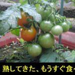 5月末。家庭菜園のミニトマトの色づきが始まった!!【園芸・庭いじりネタ】