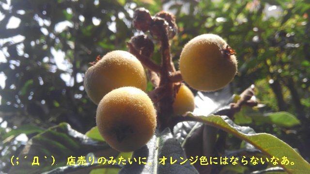 ビワの木の実がなった!鉢植えでも数年かければ実は付くんだね。【園芸・果物ネタ】