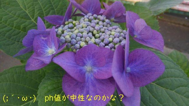 ウチのガクアジサイは紫色でしたが。ph値が中性なのか?【園芸ネタ】