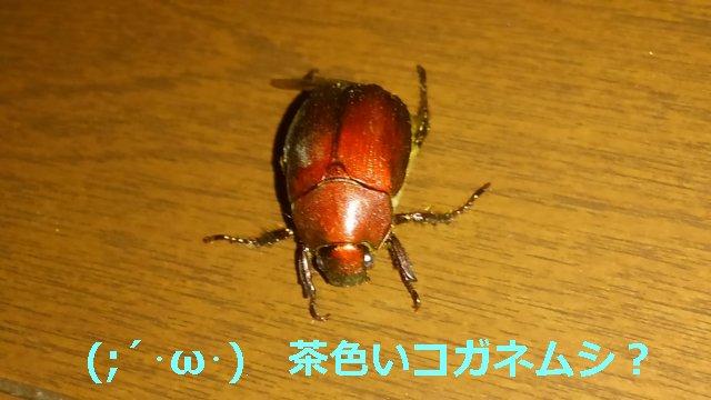 また黄金虫が家の中に侵入してきたが、完全に茶色。種類がわからんな。【昆虫】