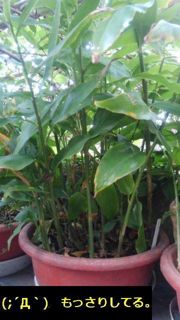 みょうがは鉢植えでも栽培できる。そこら中に生えとるから有難みゼロだがww【家庭菜園】