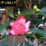 9月に椿の花が咲いた。品種がわからん、絞り系か?【園芸】