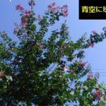 サルスベリ(百日紅)の花が咲きました。意外と咲いてる期間は長い?【園芸】